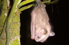A lesson given by Tropical bats: a varied diet is key to species diversification