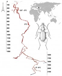 The cave-adapted beetle Duvalius abyssimus, from world's deepest cave, Krubera-Voronja (Western Caucasus)