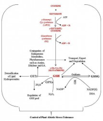 GSH and associated enzymes